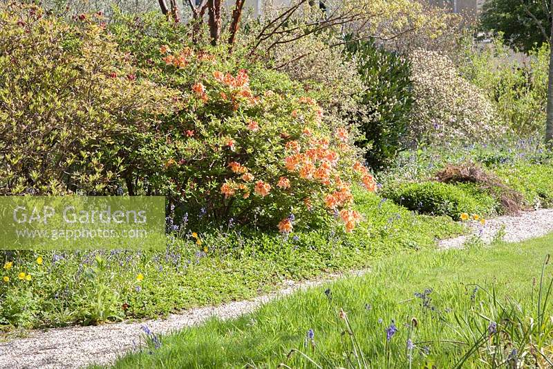Gravel path through Shrubbery with flowering Azaleas. Acer griseum.