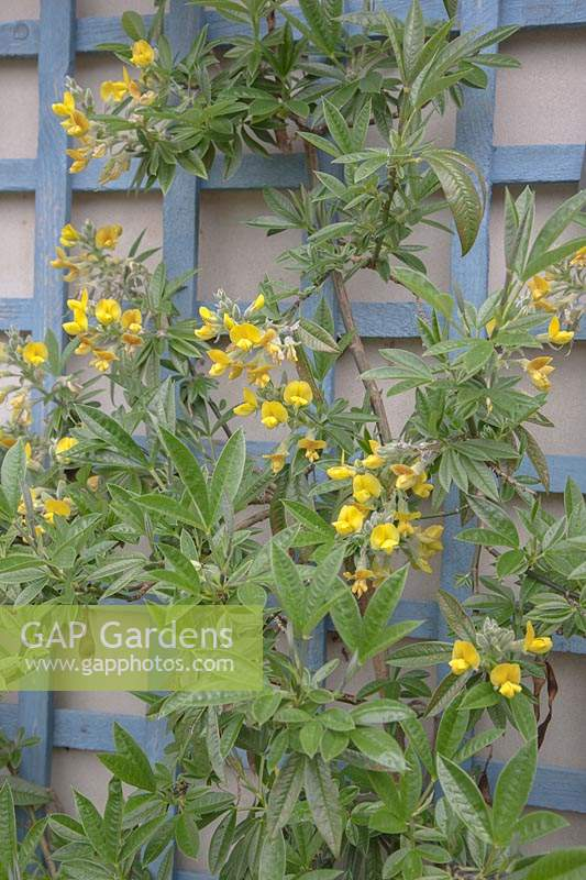 Piptanthus nepalensis - Evergreen Laburnum - growing against a painted, blue, wooden trellis.