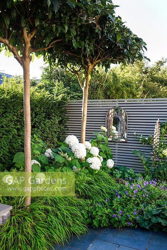 A border with Hydrangea arborescens 'Annabelle', Hakonechloa macra and pleached Platanus acerifolia - Umbrella head trees, growing against grey wooden fence with a mirror.