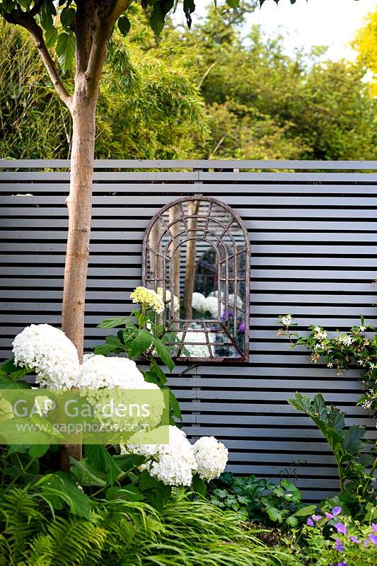 A border with Hydrangea arborescens 'Annabelle', Platanus acerifolia - Umbrella head trees - and Trachelospermum jasminoides by grey wooden fence with a mirror.