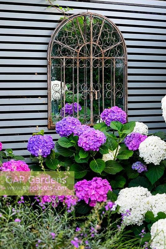 A rusty mirror hanging on wooden fence, surrounded by Hydrangea arborescens 'Annabelle'.
