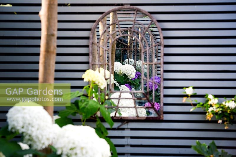 Hydrangea arborescens 'Annabelle' reflected in decorative mirror hanging on grey wooden fence.