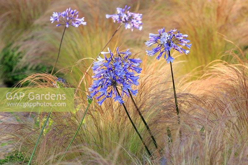 Agapanthus africanus - African Lily with Stipa tenuissima - Mexican feather grass