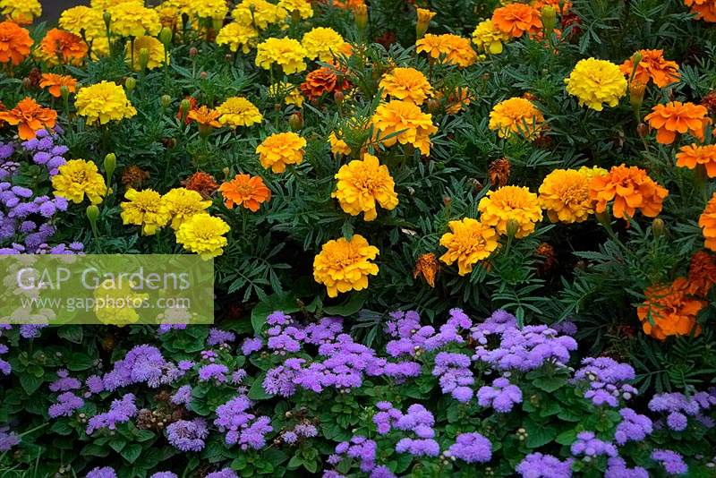 Ageratum and French Marogold - Tagetes in traditional summer amenity bedding