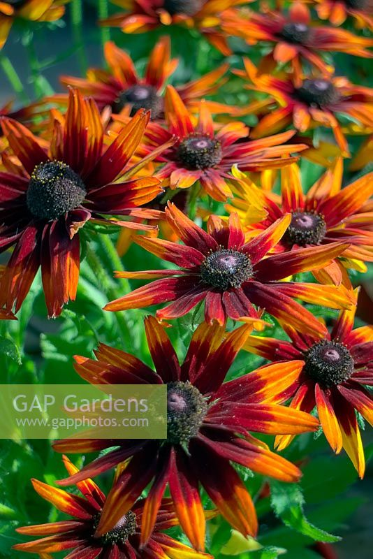 Rudbeckia SmileyZ 'Happy'