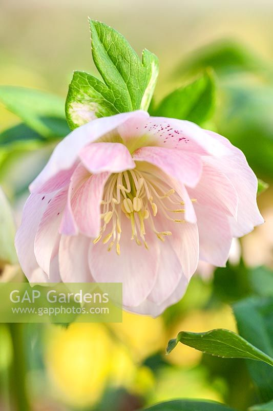 Helleborus x hybridus 'Ashwood Garden Hybrids' Double pale pink shades spotted