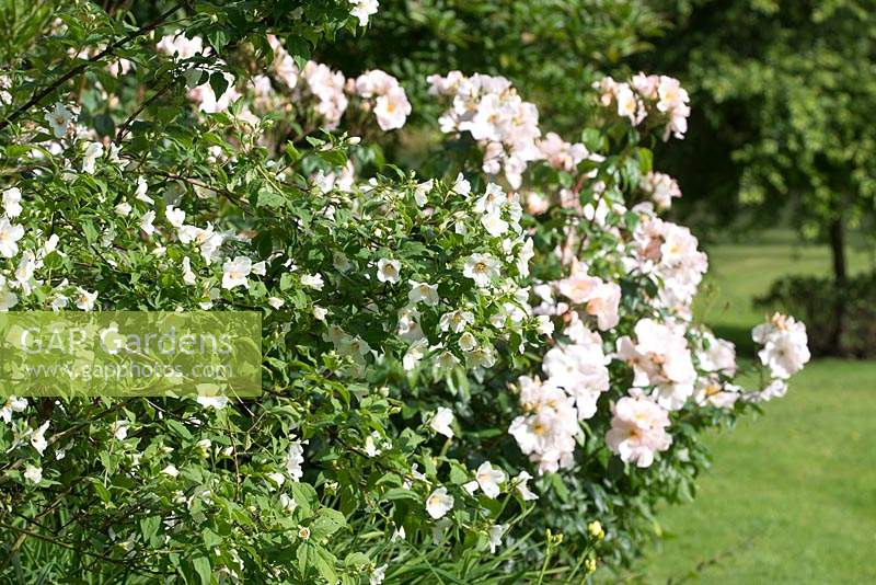 Rosa 'Sally Holmes' and Philadelphus 'Belle Étoile' - Mock Orange 'Belle Etoile'
