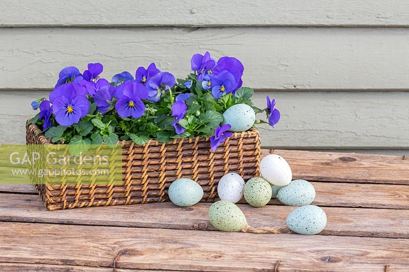 Easter display with pastel eggs and wicker tray with Viola - Pansies