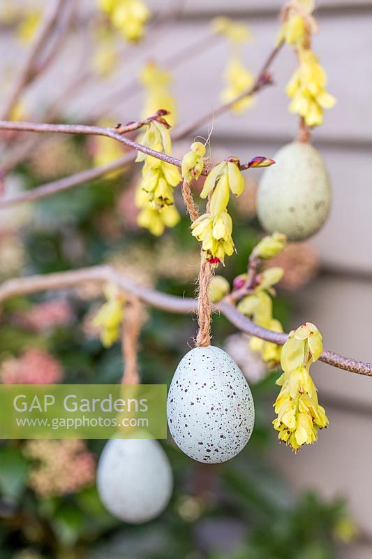 Easter eggs hanging on flowering Corylopsis branch in Spring.
