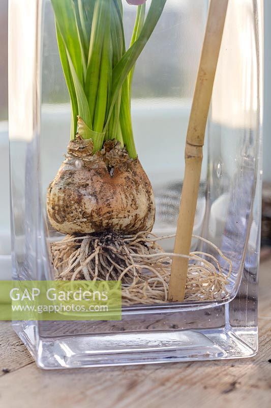 Person using end of bamboo stick to arrange the roots of Narcissus 'Tete a Tete' in the bottom of glass vase.