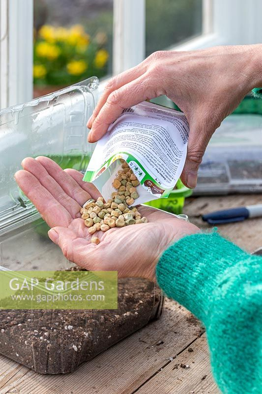 Woman pouring pea seeds into hand prior to sowing in repurposed plastic food carton