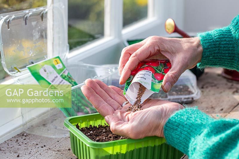 Woman pouring Radish seeds into hand before sowing into plastic vegetable tray.