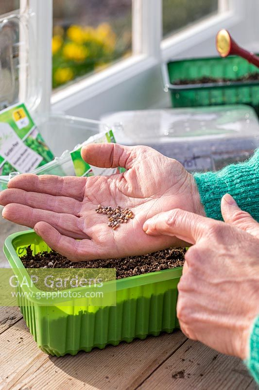 Woman tapping hand to sow radish seeds in plastic tray.