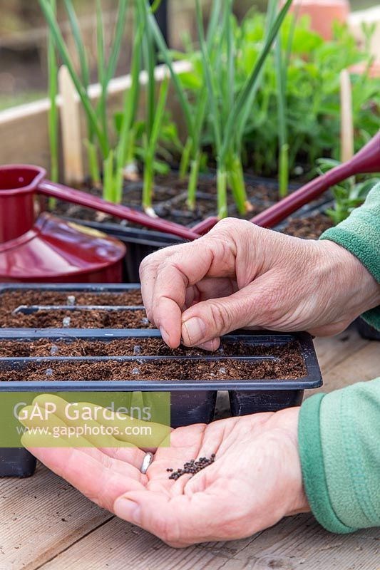 Carefully sowing individual seeds into cells of Kohl Rabi 'Purple Delicacy'