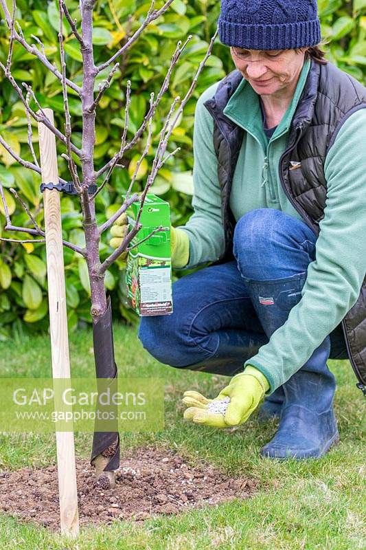 Woman wearing garden gloves adding fertiliser to newly-planted Malus domestica - 