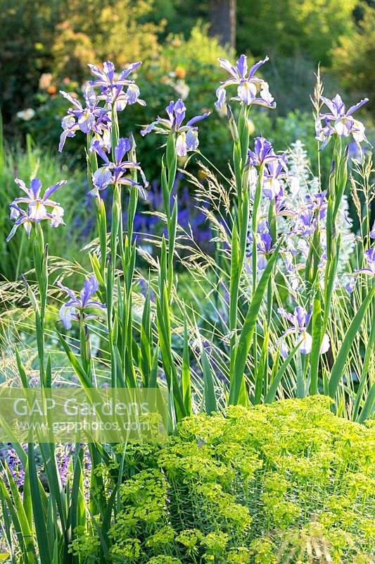 Perennial border with Iris spuria 'Neophyte' with yellow