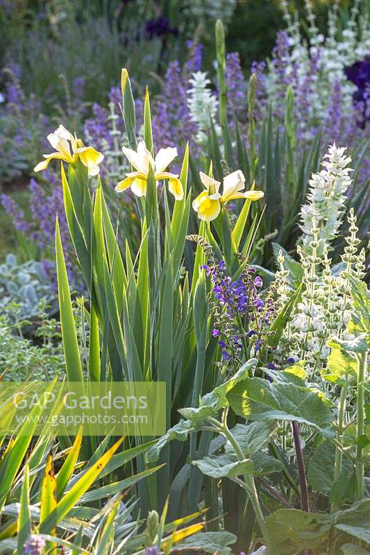 Iris and partners in the morning light, plats include: Iris spuria 