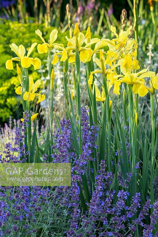 Iris spuria 'Sunny Day' and Nepeta faassenii 'Walker's Low' - Catmint