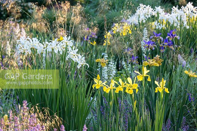 Flower border with various Iris interplanted with Lavandula angustifolia - English Lavender, 