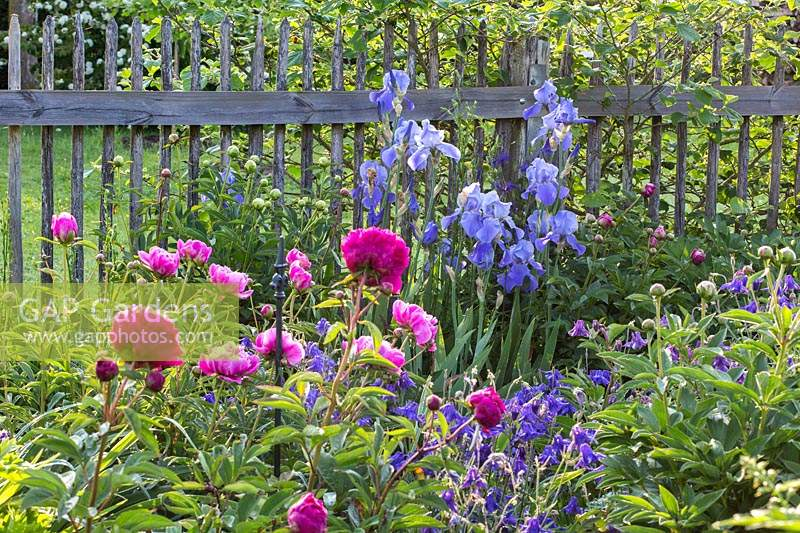 Bearded iris, peonies and columbines backed by wooden picket fence, Aquilegia, Iris Barbata, Paeonia