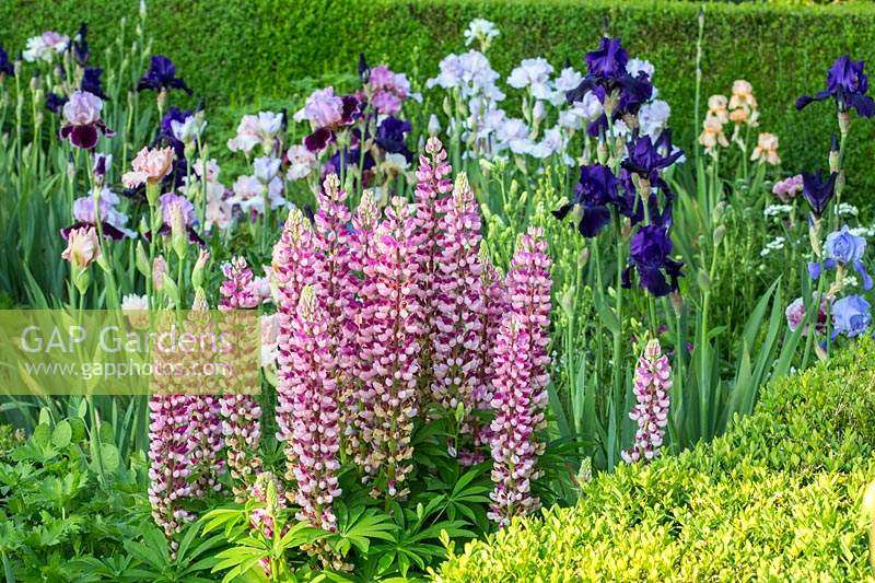 Iris and lupines framed with clipped box hedges