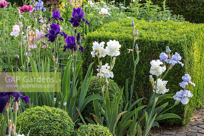 Clipped box spheres and a cube frame this planting with bearded iris and poppies.