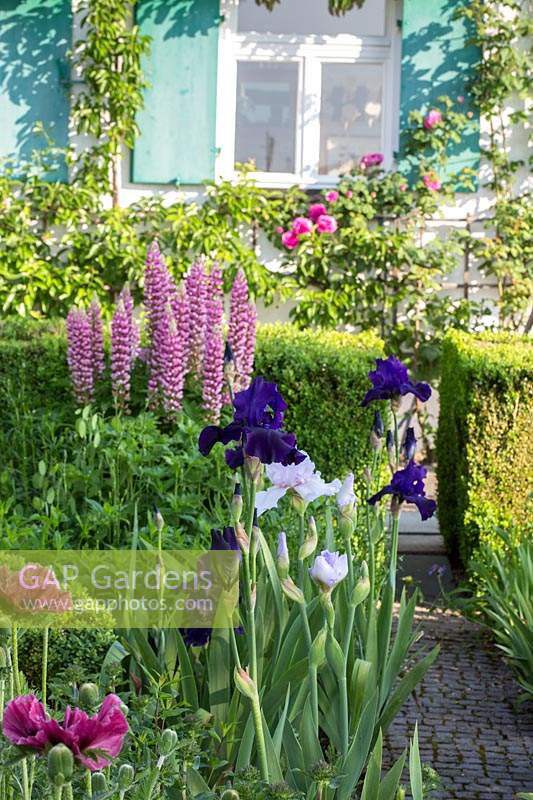 Bearded iris, poppies and lupines next to narrow paved garden path leading to a traditional house