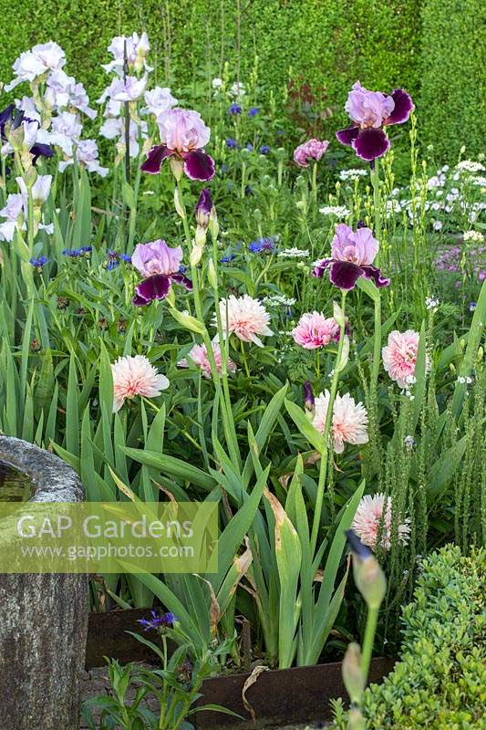 Mixed summer border with iris, peony and perennial cornflower