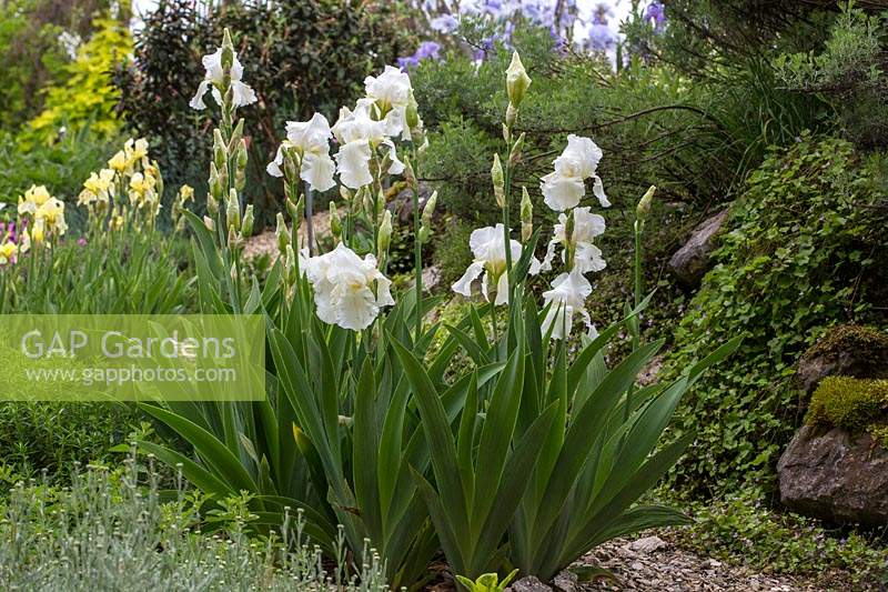 Iris barbata 'Cliffs of Dover' in a garden setting