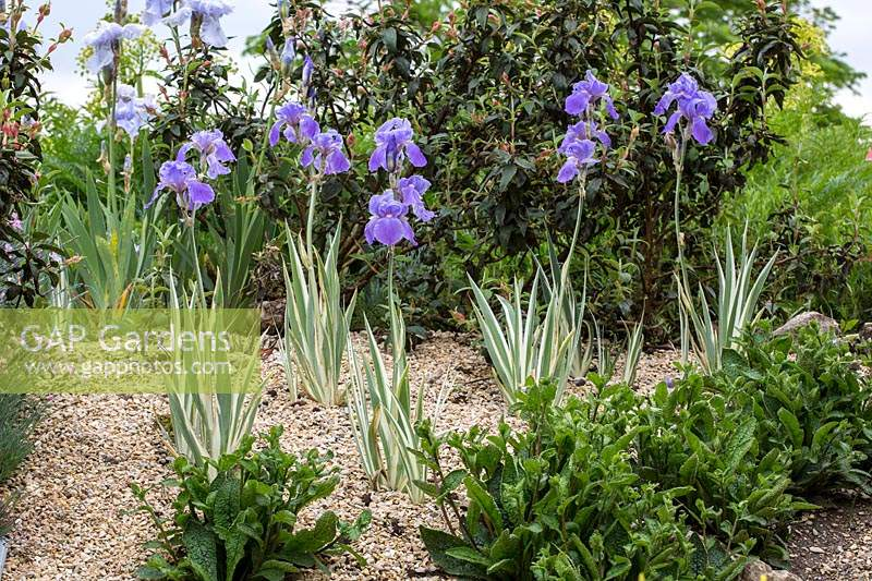 Young planting of Iris pallida 'Argentea-Variegata' in a gravel border