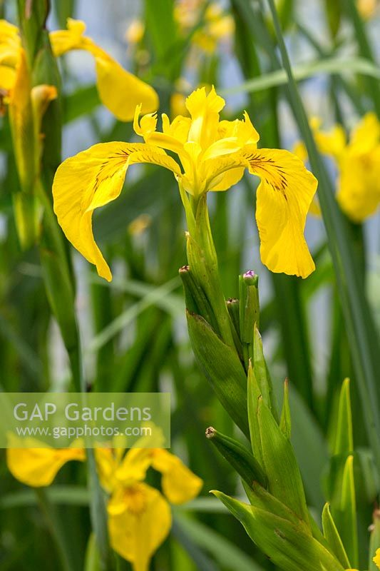 Iris pseudacorus - Yellow Flag or Water Iris