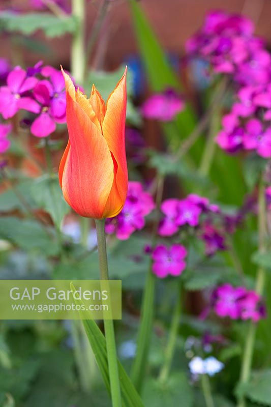 Tulipa 'Ballerina' - Lily-flowered Tulip - against purple flowers of Lunaria 