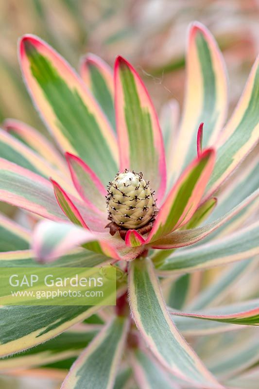 Leucadendron 'Jester' - Sunshine Conebush - 