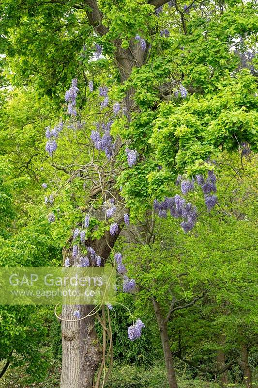 Wisteria flowering in Quercus - Oak - tree