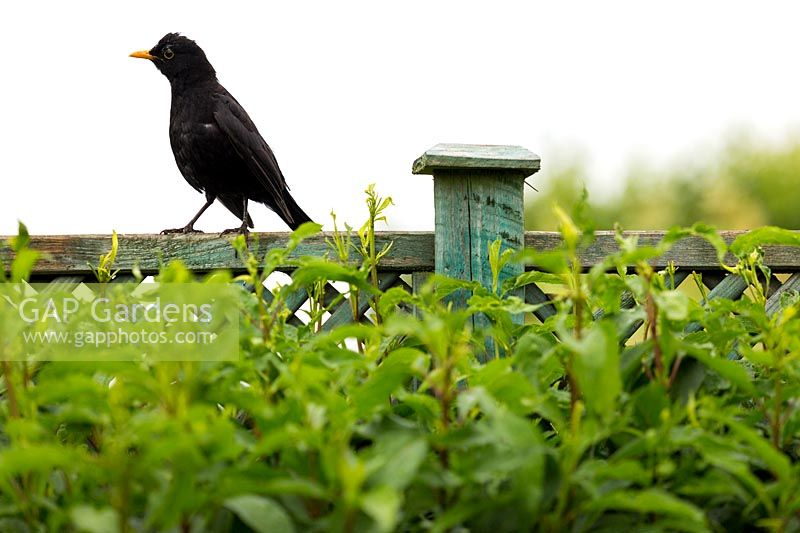 A blackbird perches on top of the weathered wooden trellis