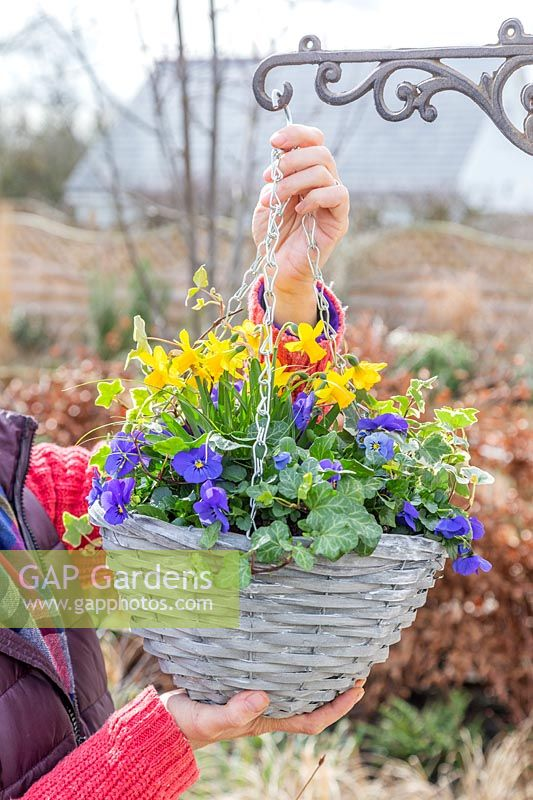 Attaching chains of a planted up hanging basket on bracket. Planting includes: 