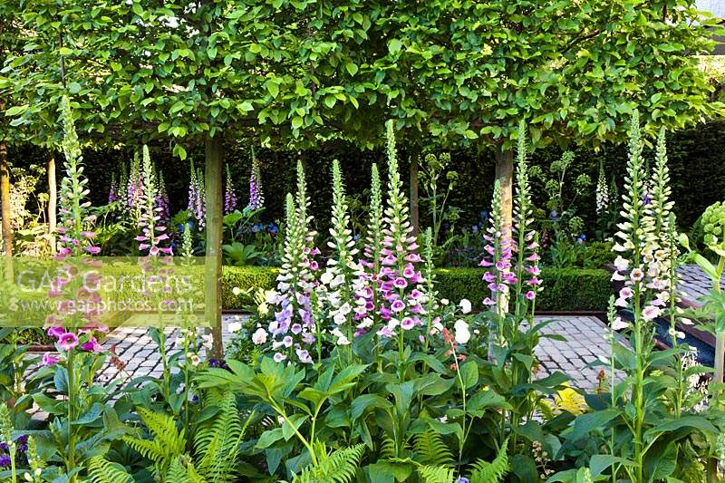 Foxgloves, Ferns and pleached Hornbeams in Support, The Husqvarna Garden. RHS Chelsea Flower Show