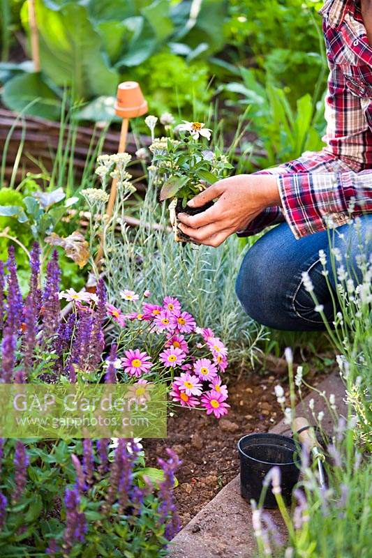Woman planting Zinna 'Profusion' and marguerite daisy in vegetable garden to attract wildlife