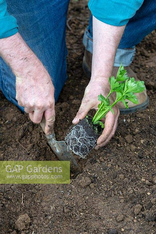 Planting Apium graveolens var. rapaceum - Celeriac -  young plant into the ground with a trowel