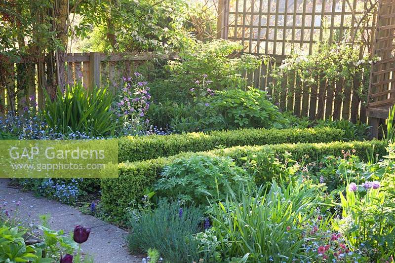 Clipped Buxus - Box - low hedging with Myosotis - Forget-me-not and emerging foliage, fencing beyond