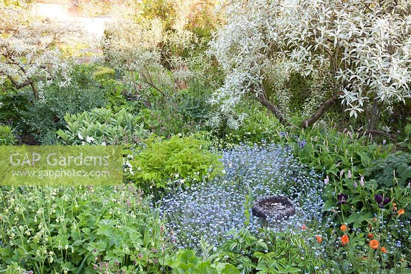 Full bed with Elaeagnus 'Quicksilver' underplanted with mixture of Myosotis - Forget-me-not - and emerging perennials with stone bird bath