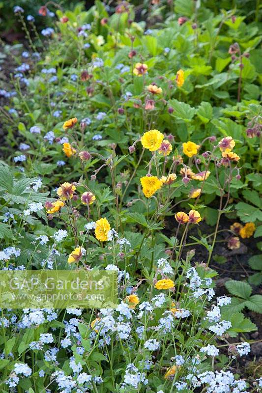 Geum with Myosotis - Forget-me-not
