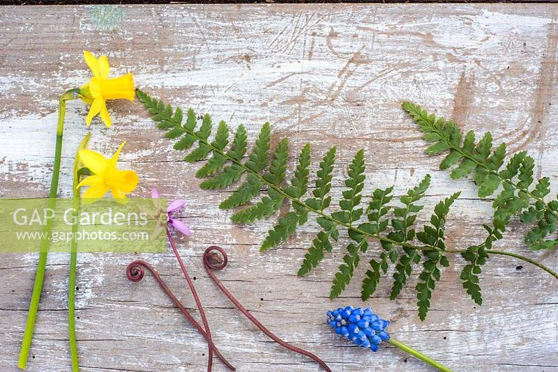 Spring flatlay with fern leaves, Muscari, Cyclamen coum and Narcissus 'Tete a Tete' on wooden background.