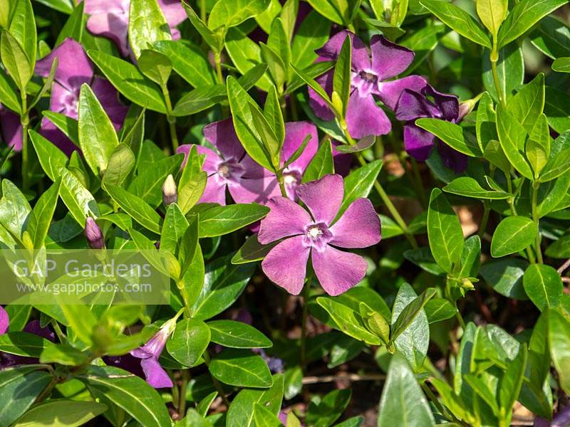 Vinca minor 'Atropurpurea' - Lesser Periwinkle - ground cover