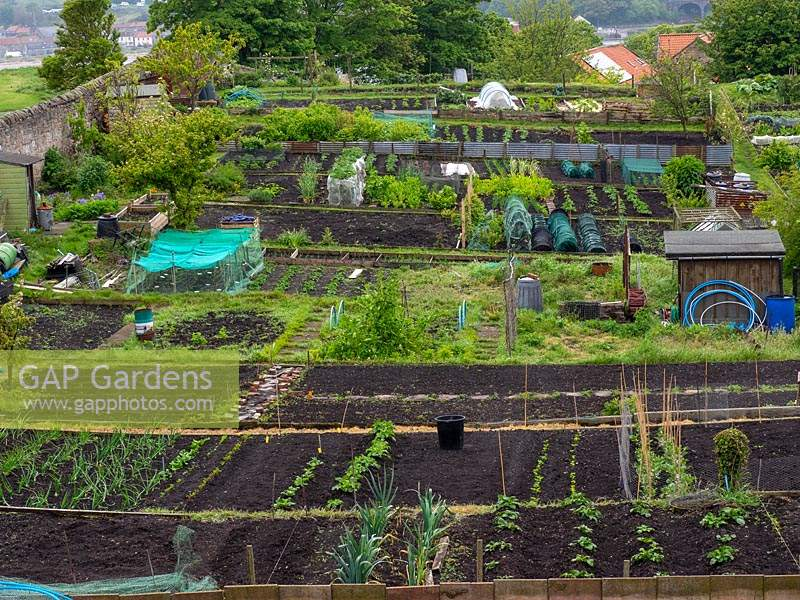Allotments on a well-maintained site, long rows of young vegetables across plots