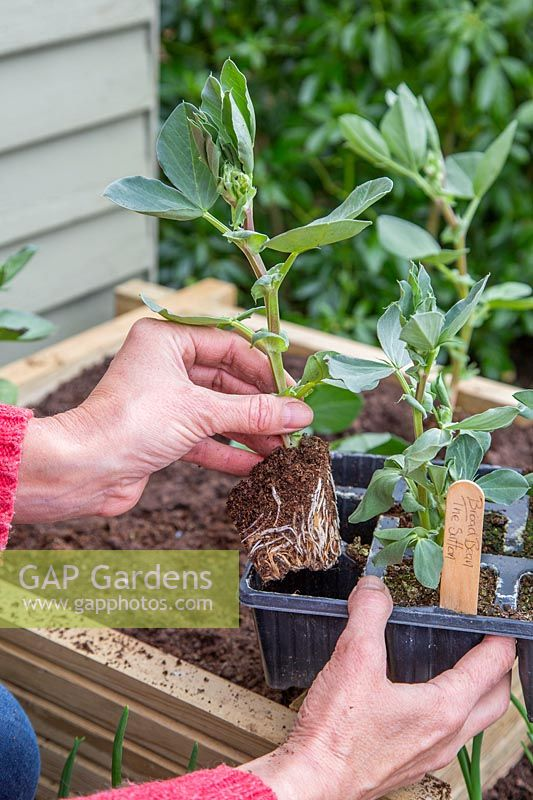 Woman planting Broad Bean 'The Sutton' grown in modular trays into a raised bed