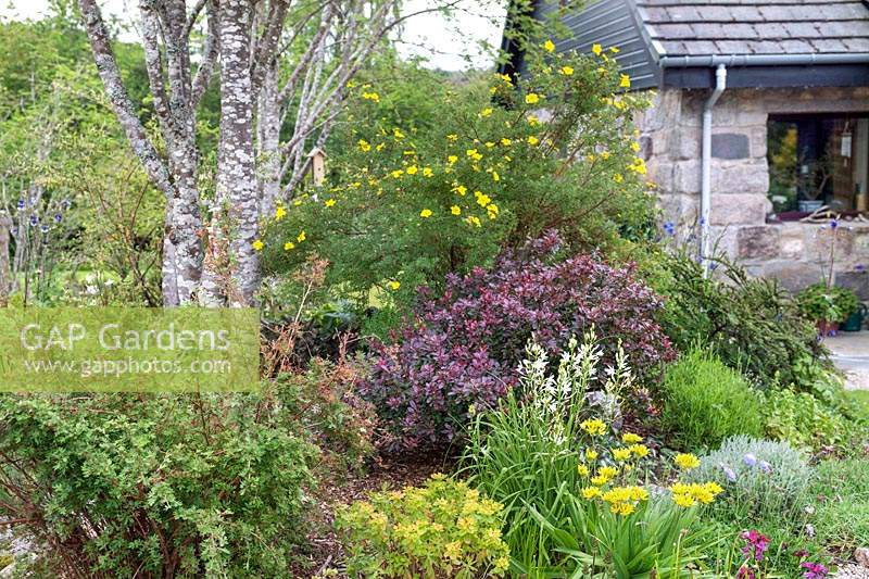 Mixed border by the house, plants include: Potentilla, Berberis, white 