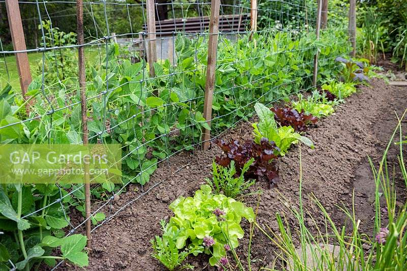 Rows of salad leaves including Rocket and Lettuce beside a 
