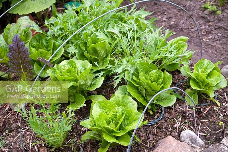 Salad leaf crops including Rocket and Lettuce planted in square to fit under a row cloche, now removed but metal hoops still in place