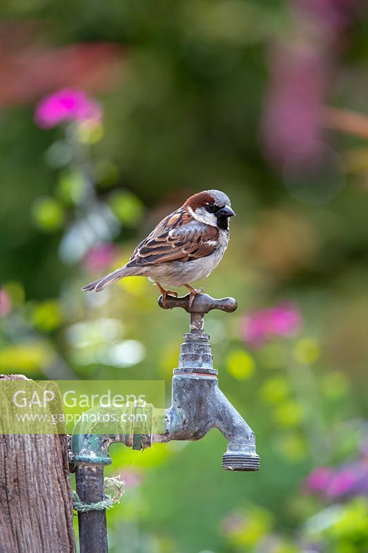 Passer domesticus - House Sparrow - perched on an old tap